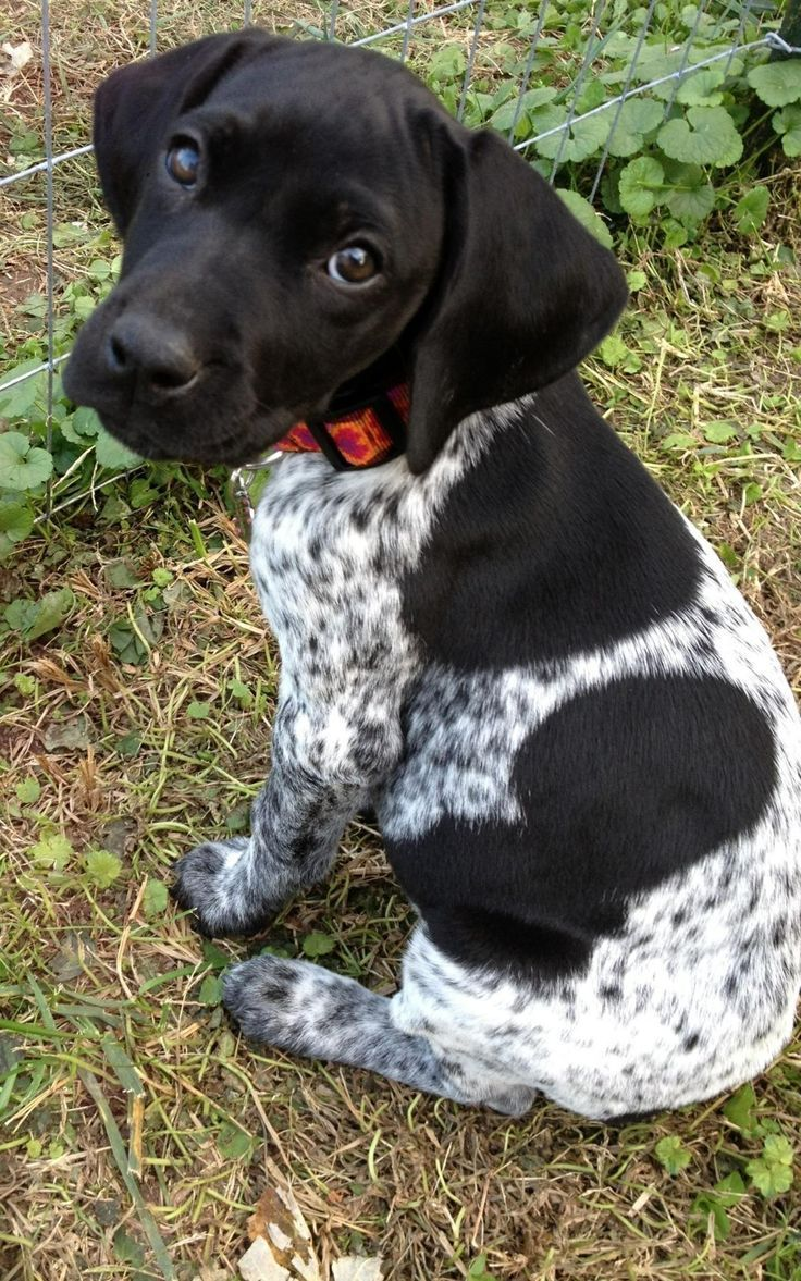 Black And White German Shorthaired Pointer Black German