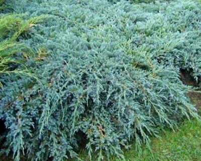 Sinu Parim Valik Aianduses Juniperus Squamata Blue Carpet Plants
