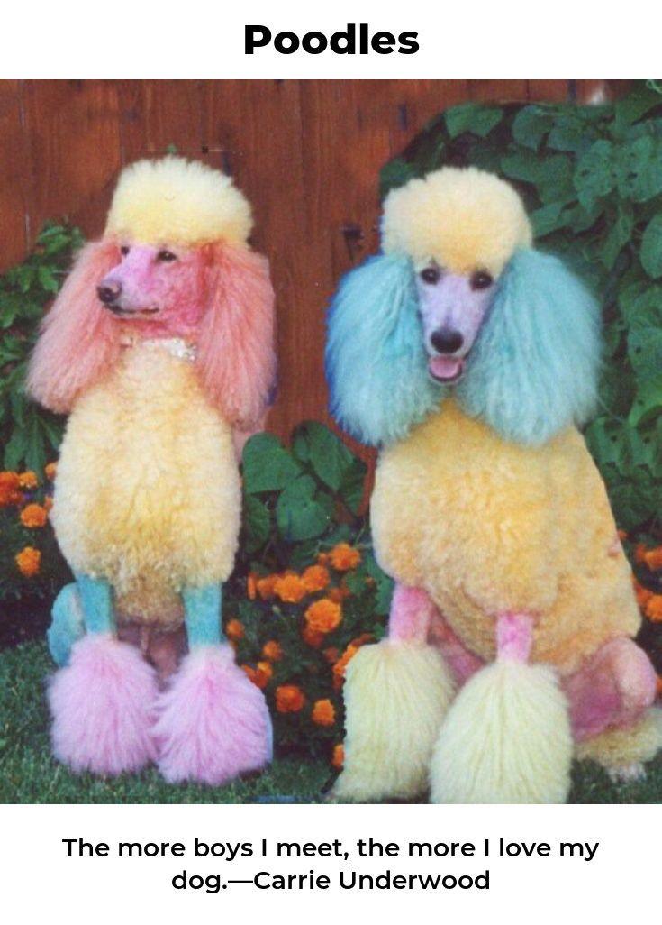 Poodles #poodlepomeranian #poodlesofoinstagram