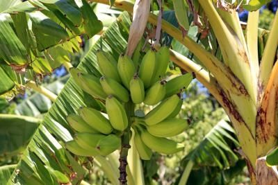 Will A Dwarf Banana Tree Produce Fruit