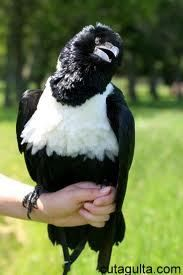 Pied Crow are the bird breed found in African region. These birds are very active in nature and need free space to fly and exercise outdoors.