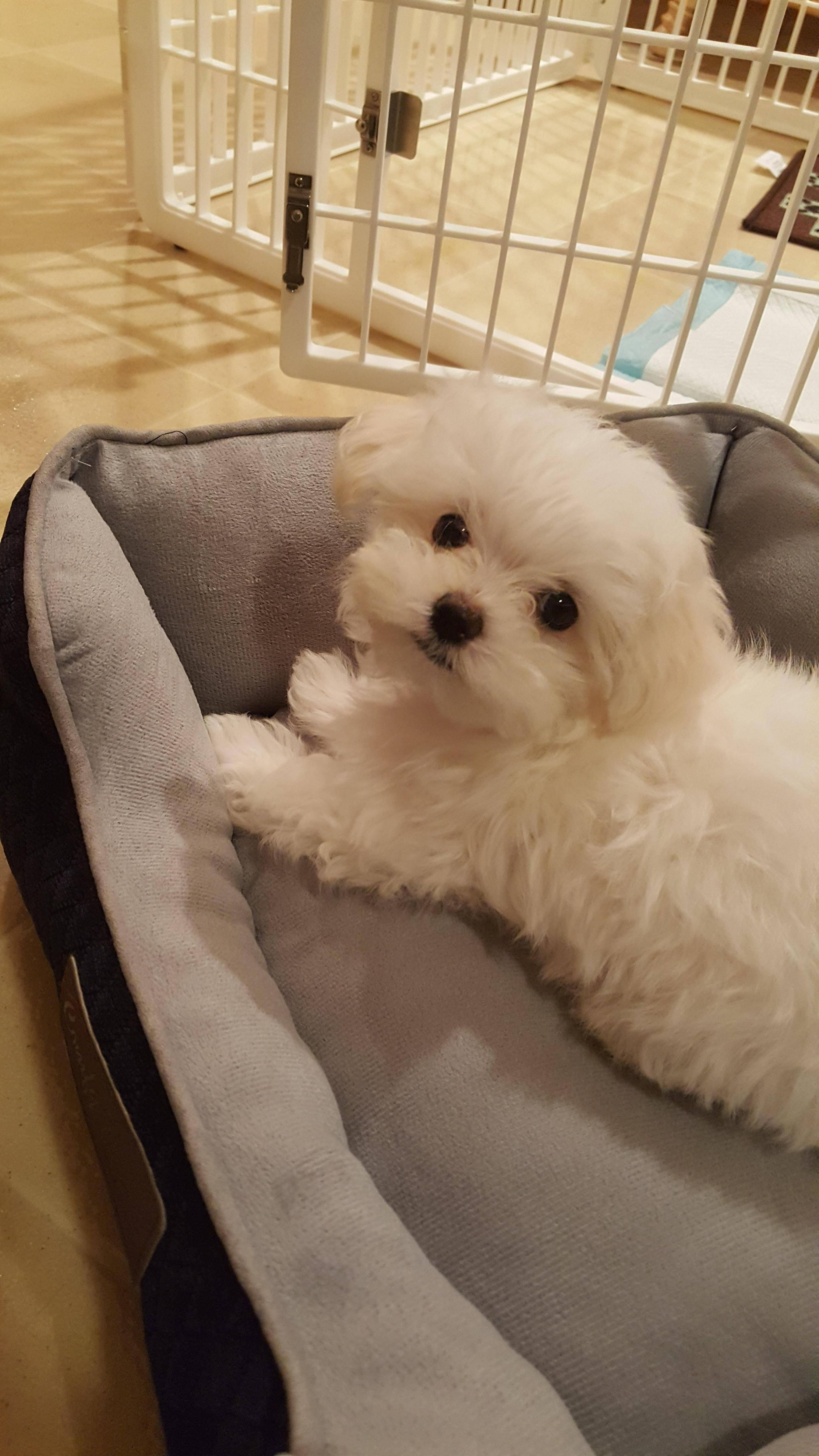 Meet Toby My Gfs New Puppy This Is The Closest I Ve Ever Had To A Dog Cute New Puppy Puppies Dog Pictures