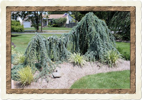 dwarf weeping cedar - Google Search