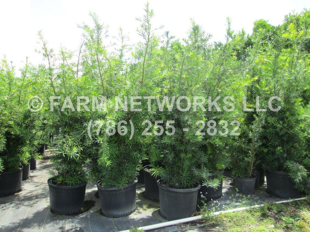 Homestead Podocarpus Nursery Backyard plants, Podocarpus