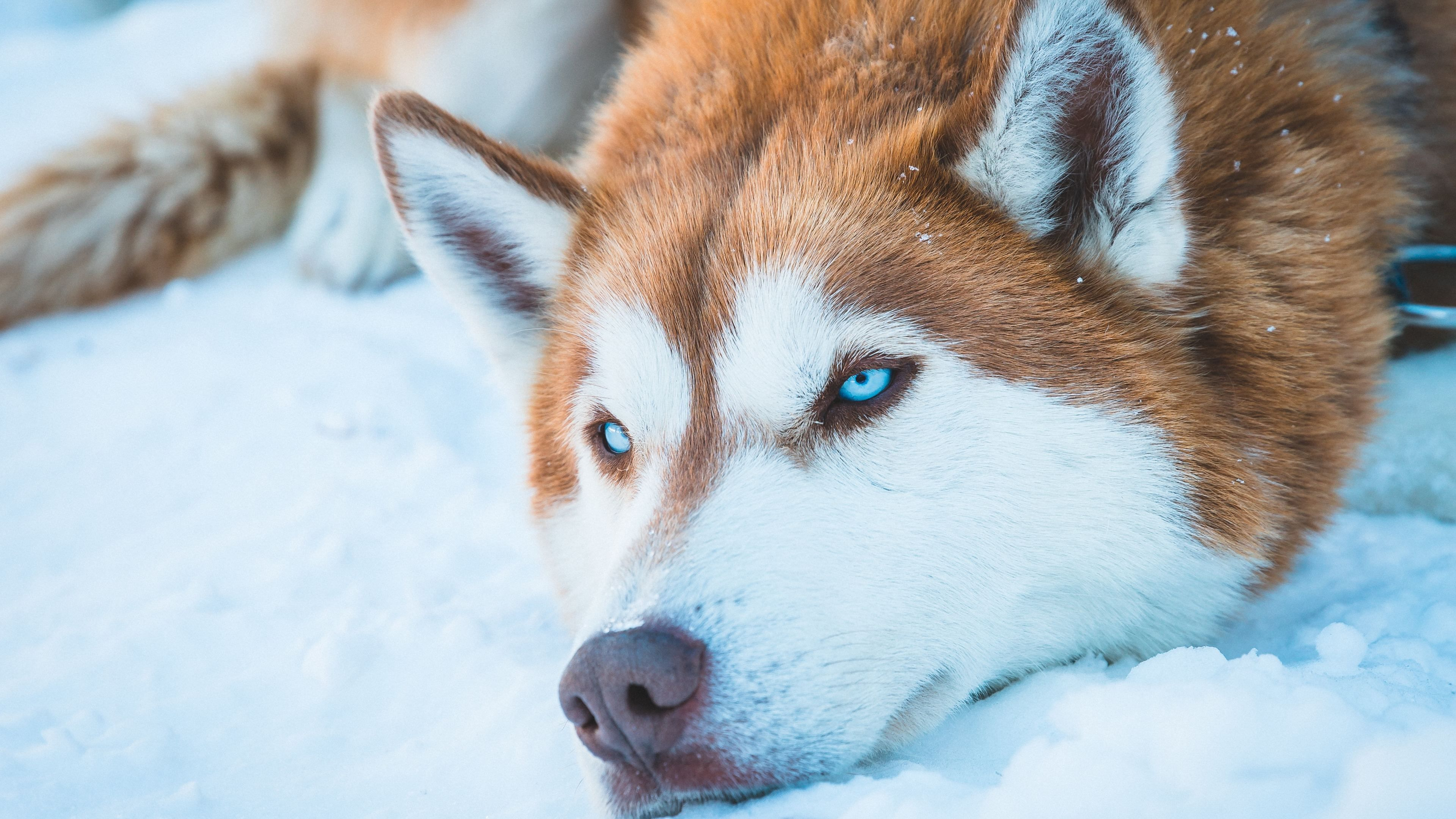 Wallpaper 4k Siberian Husky In Snow 4k 4k Wallpapers Animals Wallpapers Dog Wallpapers Hd Wallpapers Siberian Husky Wallpapers Em 2020 Fundos Bonitos