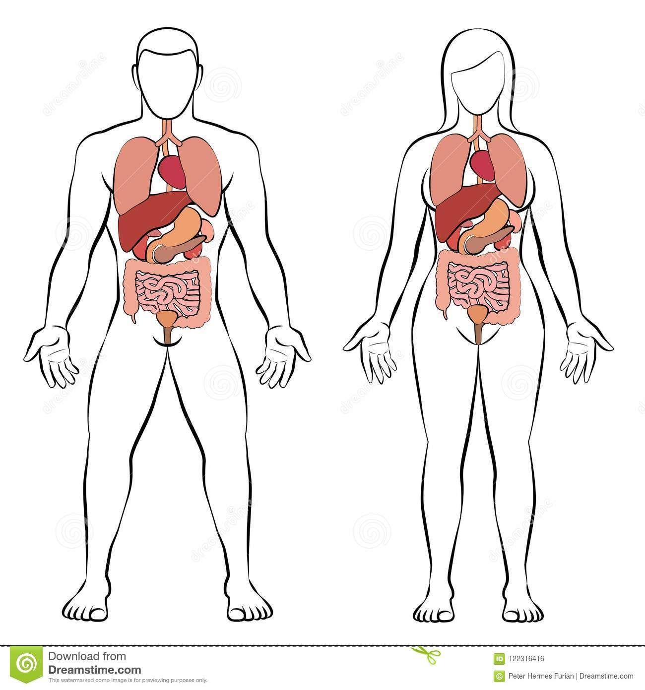 Male Female Anatomy Diagrams Human Anatomy Drawing Pinterest