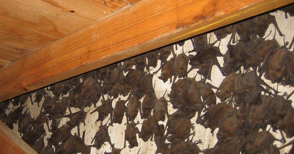 Get Rid Of Bats With Bat Repellent Getting Rid Of Bats Bat Repellent Bat
