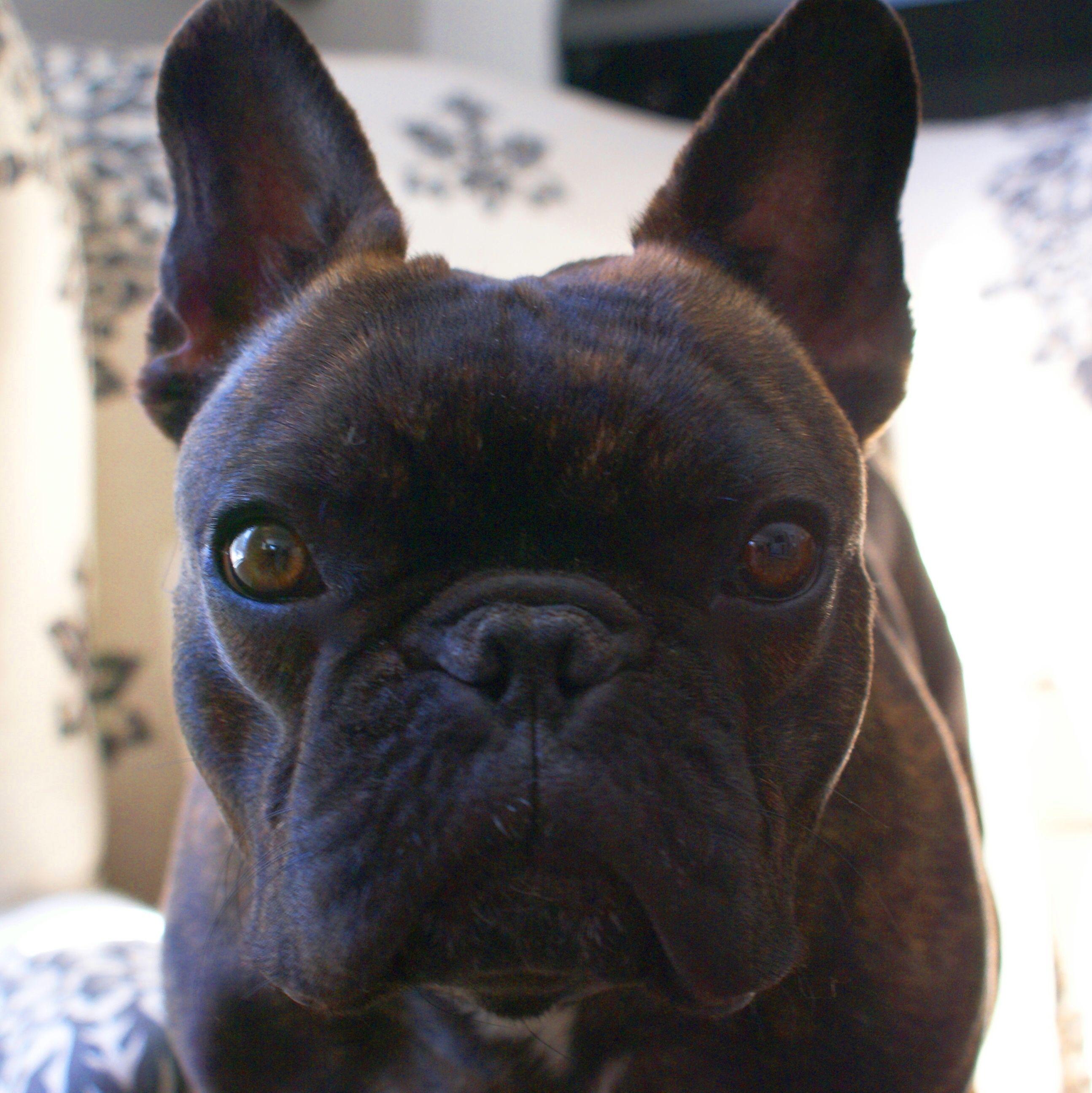 Finn, the French Bulldog