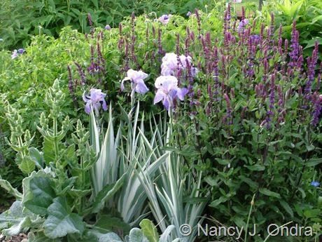 Salvia Caradonna With Iris Pallida Argentea Variegata And Nancy J Ondra At Hayefield