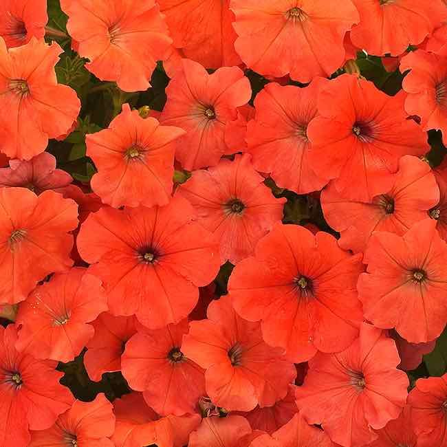 African Sunset Petunia | annual