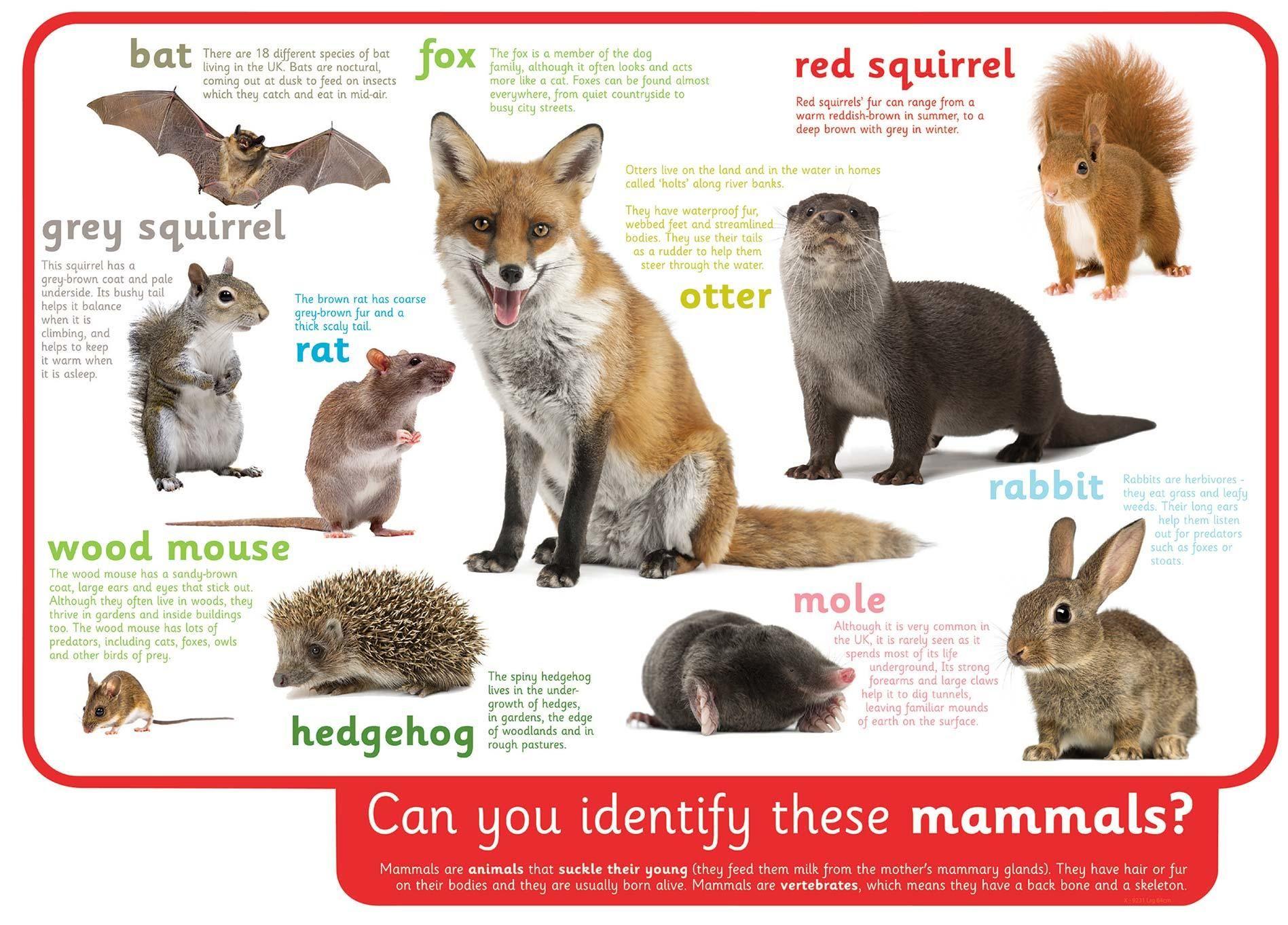 Animal Classification Mural Mammals Animals Animal