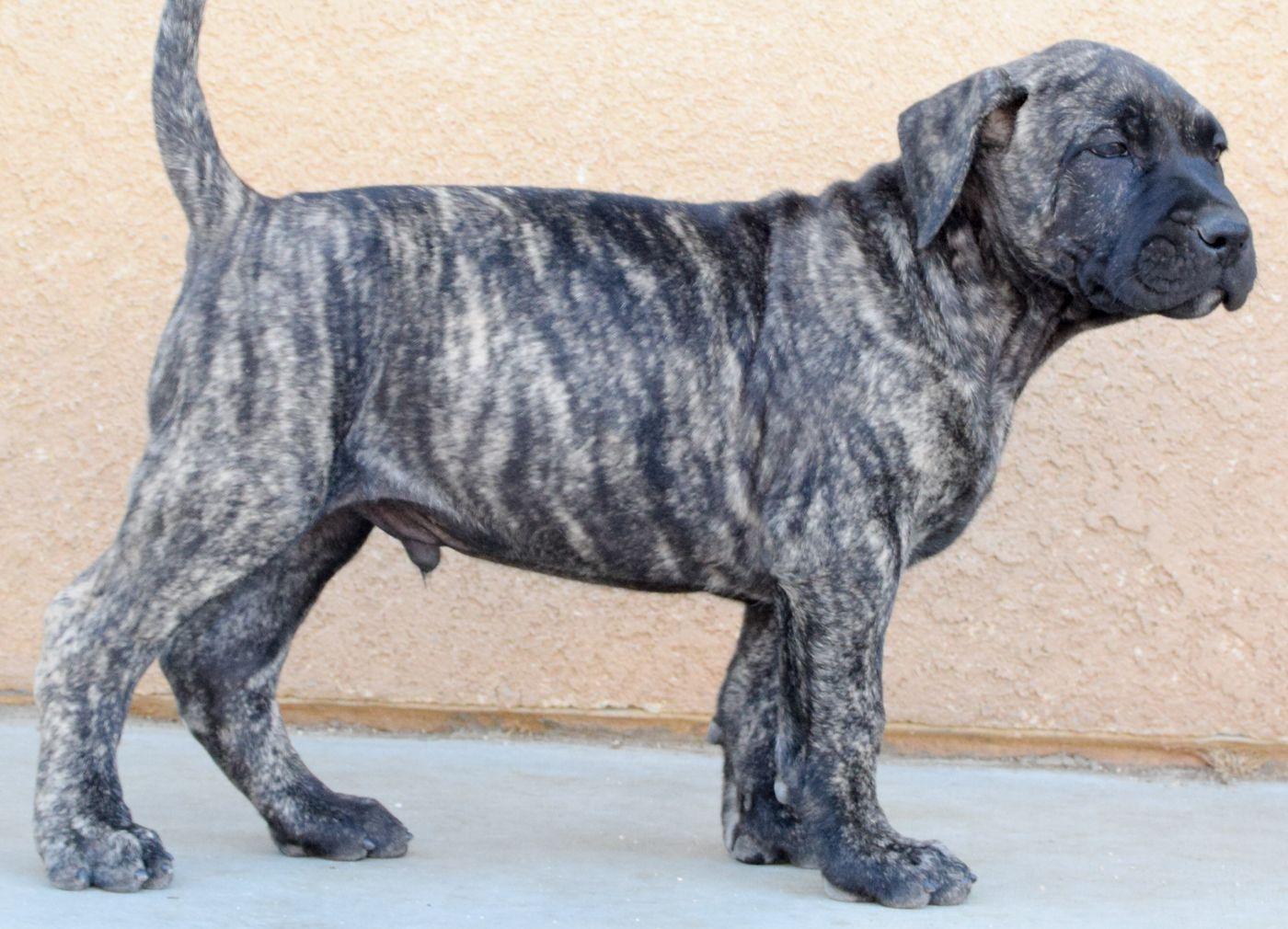 Presa Canario Puppies At 8 Weeks Presa Canario Puppies Dog Breeds