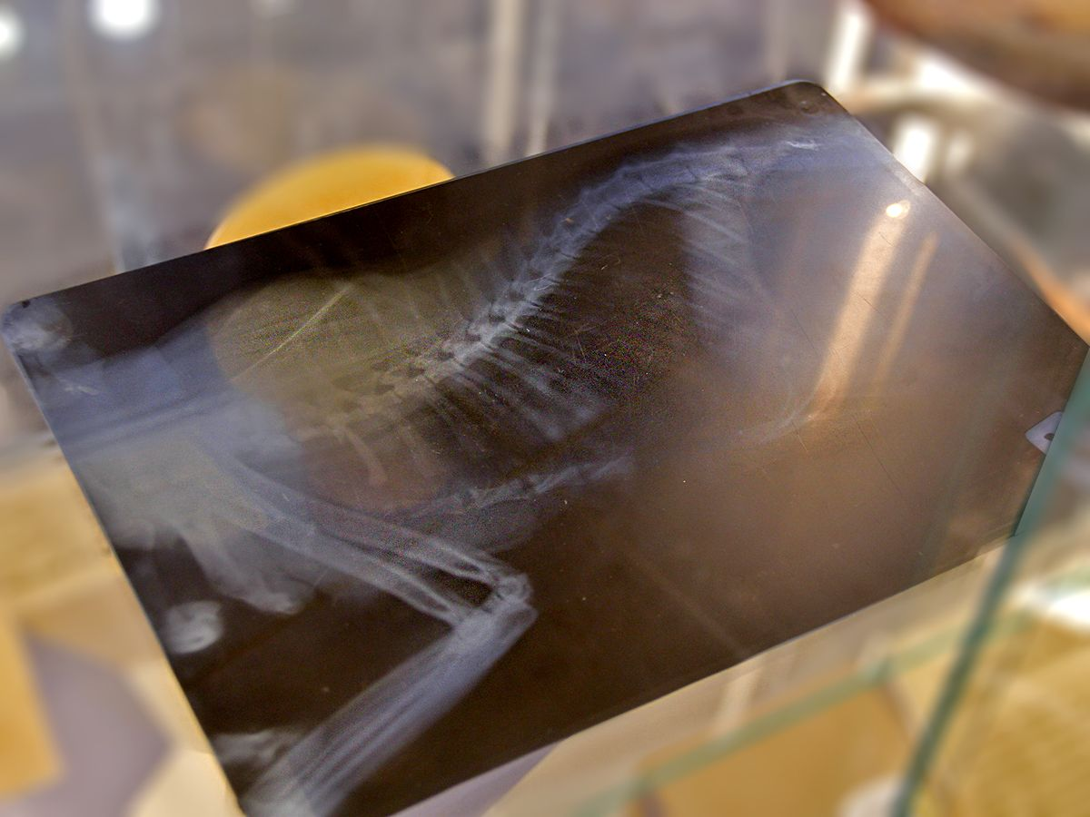 Рентгенограмма кота с тапочком в животе