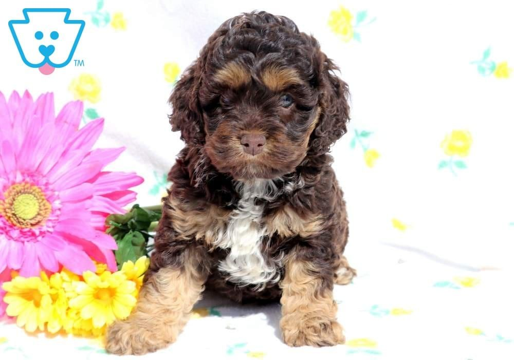 Angel Cockapoo Puppies Cockapoo Puppies For Sale Puppies For Sale