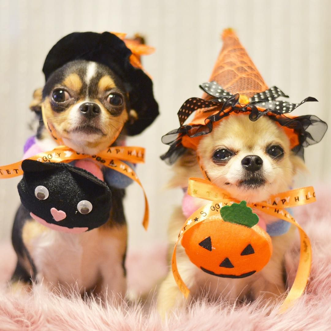 Too cute! #dogs #halloween