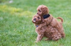 Cavapoo Puppies Richmond Va Cavapoo Puppies Cute Baby Animals
