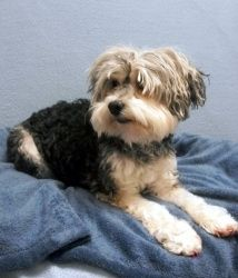 SADIE is an adoptable Poodle Dog in Nashville, TN. Breed: Female Gray