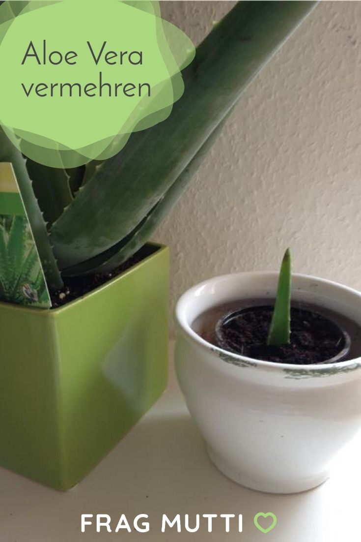 Aloe Vera vermehren