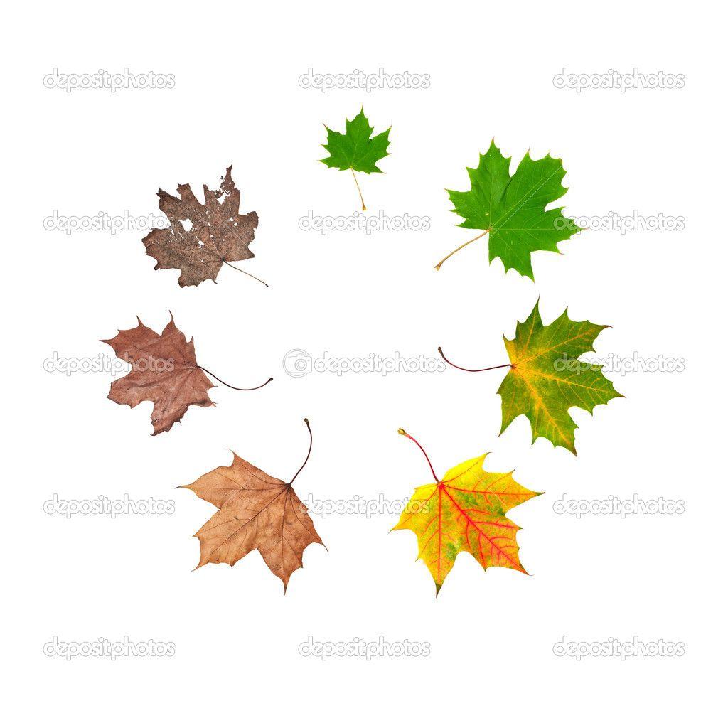 Leaf Life Cycle For Kindergarten