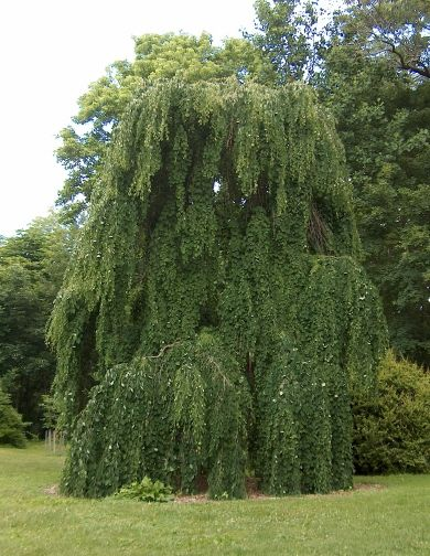 Weeping Katsura Tree Is Probably The Most Graceful Weeping Tree