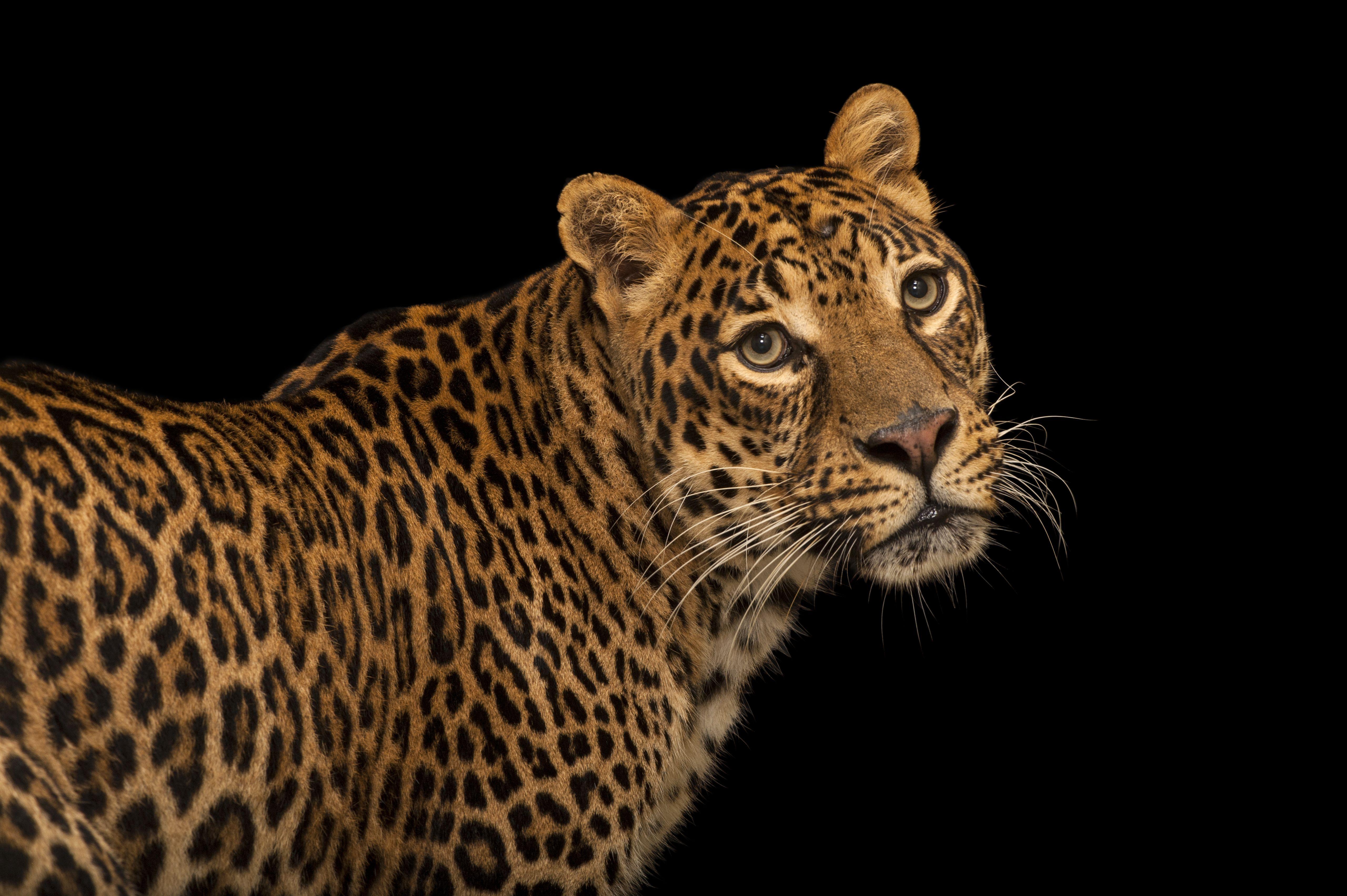 Will Africa's Big Five extinct in the wild