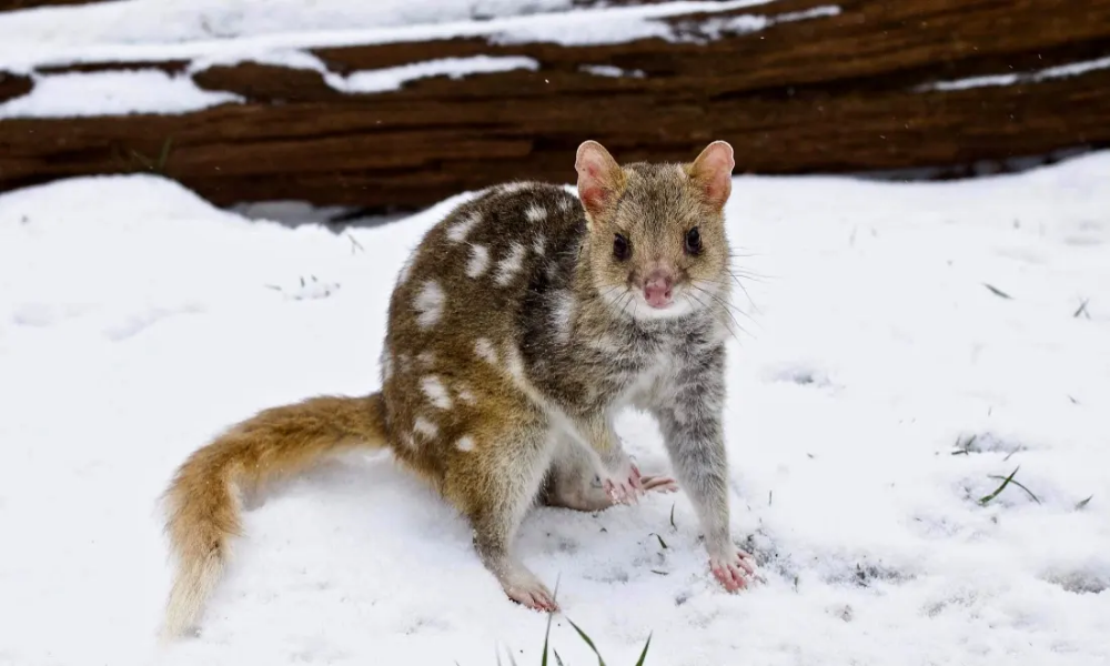 Snow survivors endangered Australian animals adapt to the