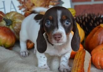 Adopt Saratoga On Dachshund Dog Dachshund Dogs