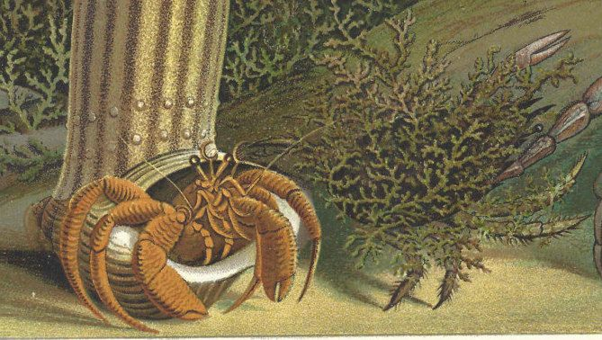 1901 Antique Lobster Crab Sea Life Print Lithograph Original Book Plate by catladycollectibles on Etsy