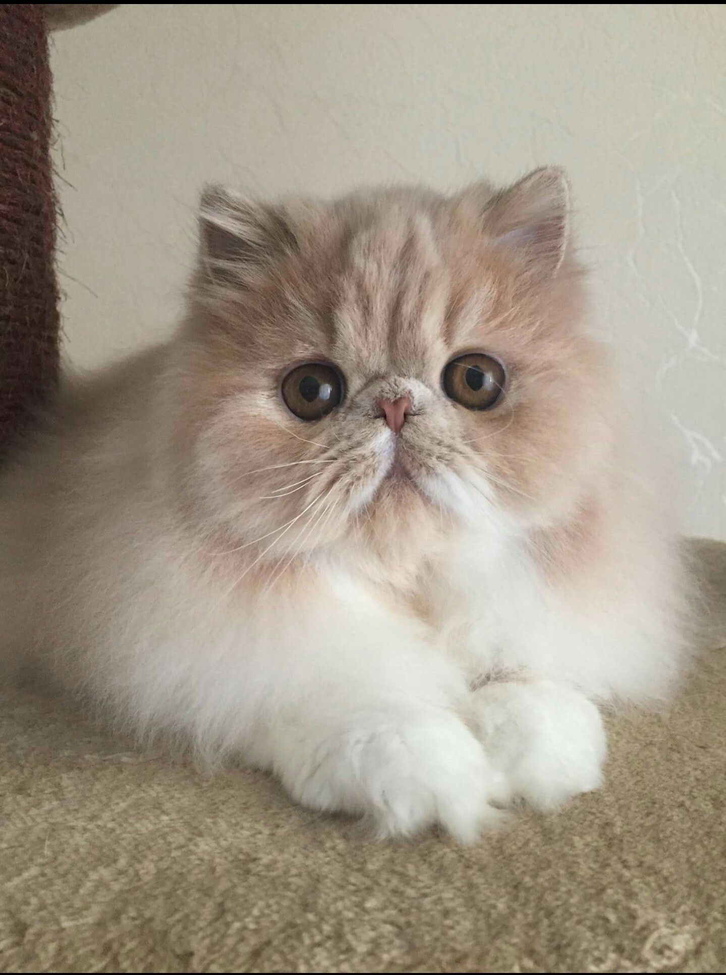 Looks like my kitty Mr. Magoo. PersianCat (With images
