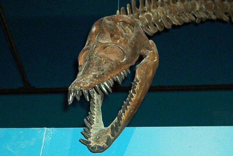 Plesiosaur Skull By Yoyorulesinthefuture Fossil Reptiles