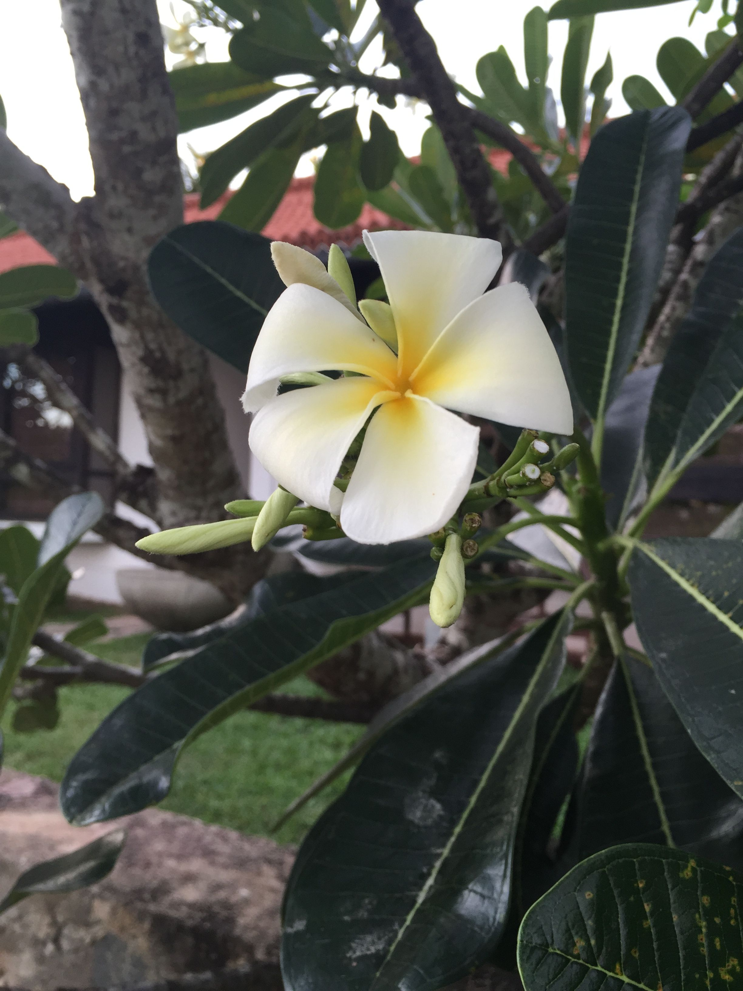 Frangipani in Srilanka