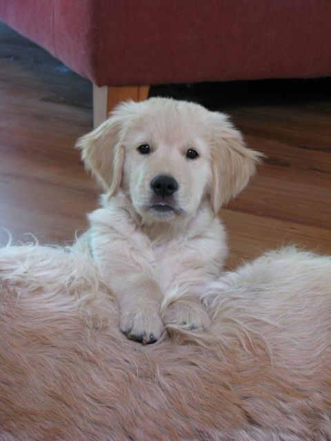 Gamble On Beau Golden Puppy Dogs Golden Retriever Dog Quotes