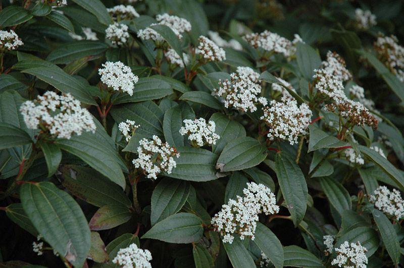 Viburnum Davidii Rich Dark Green And Evergreen With Good Structure Year Round Interest