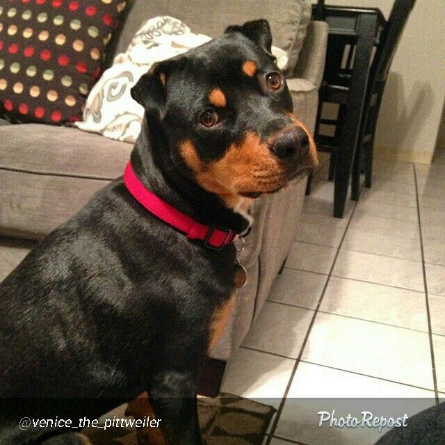 Pittweiler Rottweiler Pit Mix Venice From Instagram The