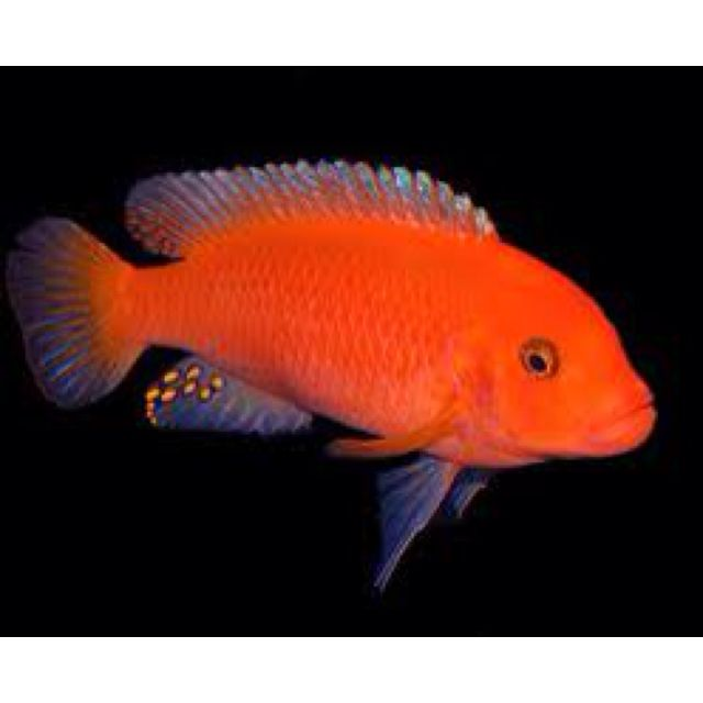 Maylandia estherae red zebra both male female have for Girl fish names