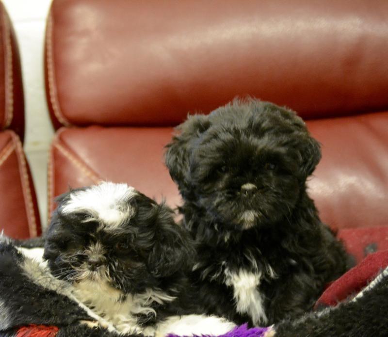 Shih Tzu Boy Pedigree Puppies For Sale Dog Breeder Shih Tzu
