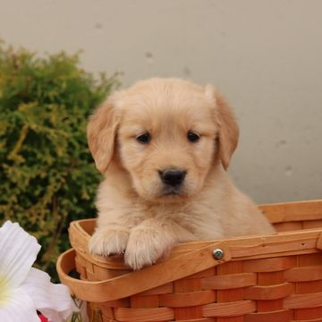 Golden Retriever Puppy For Sale In Gap Pa Adn 54183 On