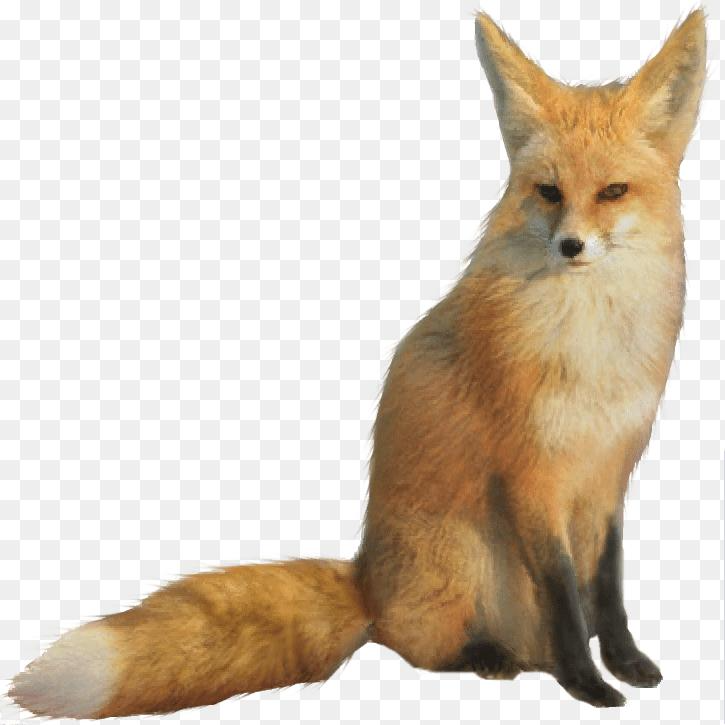 Red Fox Png Fox Png 725 725 Png Download Free Transparent Background Red Fox Png Png Download Fox Red Fox Fennec Fox
