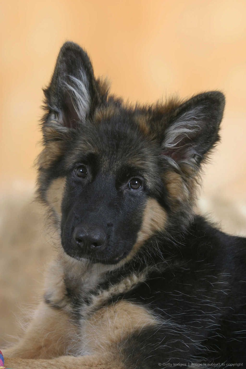 German Shepherd 5 Month Alsatian Love These Dogs Hunde