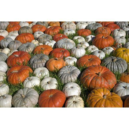 Variety Of Pumpkins Near Half Moon Bay California United States Of America Canvas Art - Ken Ross Design Pics (19 x 12)