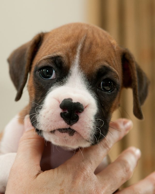 Picture Of 6 Weeks Boxers Puppies All Stacked Up And Looking
