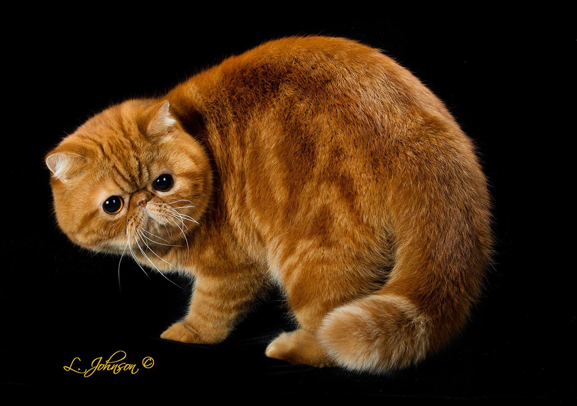 CFA's Best Cat, International Winning the titles of Best