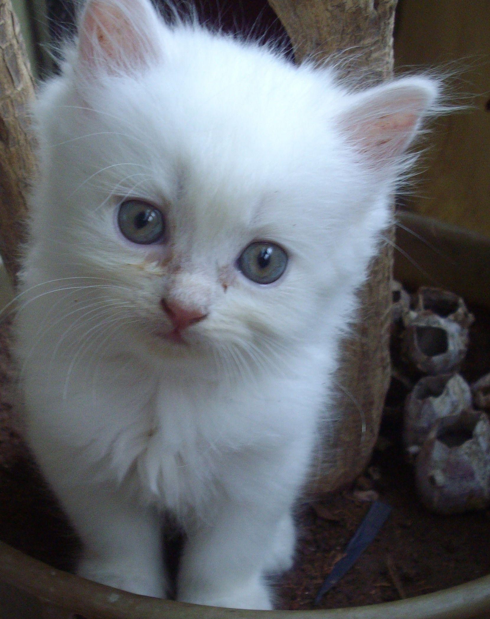 Description Mumbai Doll Faced Persian Kitten 6 Weeks Old Jpg