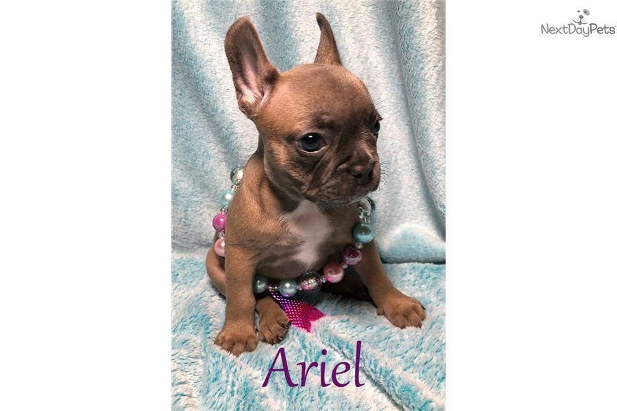 Ariel French Bulldog Puppy For Sale Near Dallas Fort Worth