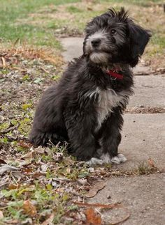 Siberpoo Siberian Husky Poodle Mix I May Have To Breed Our