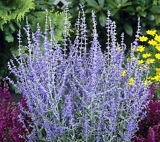 Double Duty! Pretty and edible!  Cottage Farms 3-piece Lacy Blue Russian Sage Collection
