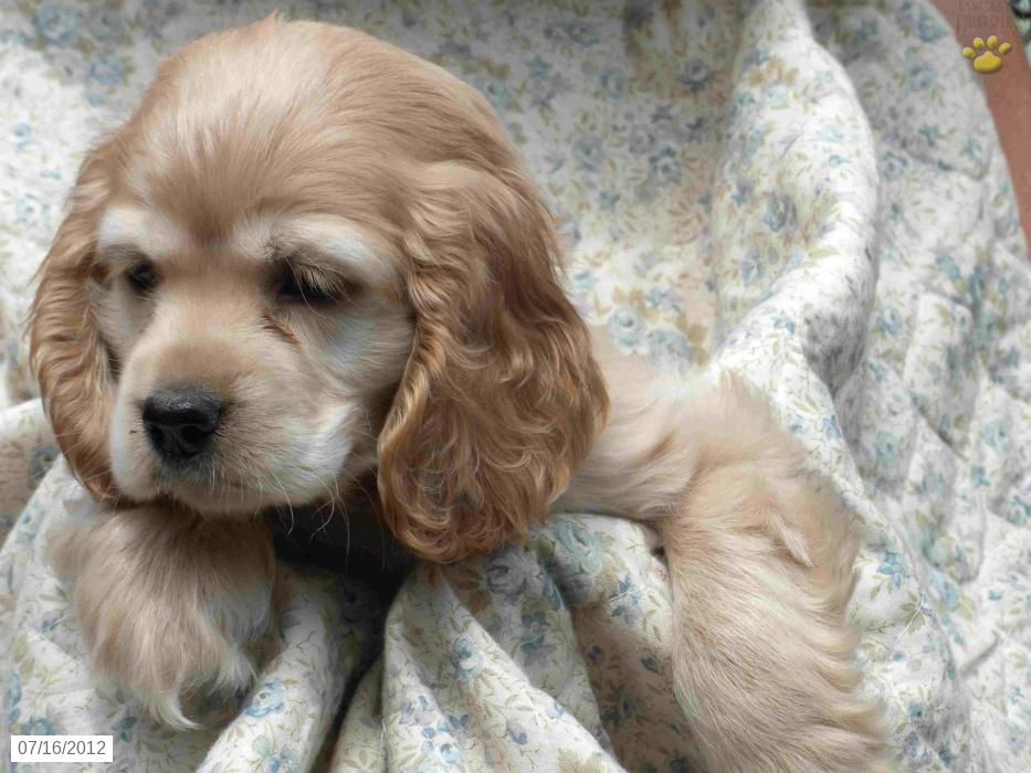Cocker Spaniel Puppies For Sale Female Cocker Spaniel Puppies