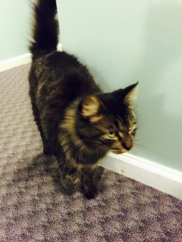 Photos Videos Of Halfway Home Rescue Inc Karina Brasil Riccitelli Home Rescue Found Cat Trumbull