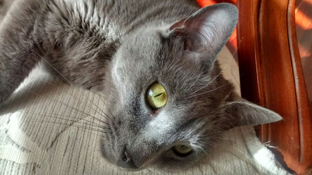Igorsito a russian blue cat