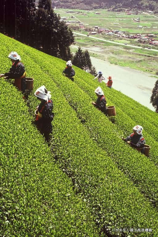 Tea picking, a specialty of Yamanashi